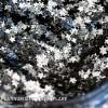Platinum Silver Stars Flake